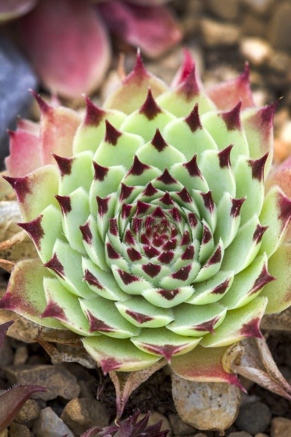Sempervivum florette arkivfoton