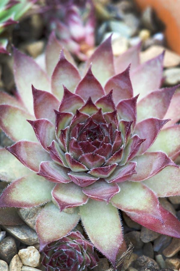 Sempervivum florette royaltyfri bild