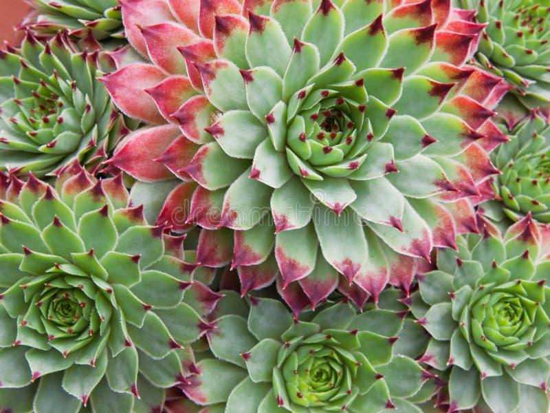 Sempervivum Hirtum rośliny nauka fotografia stock