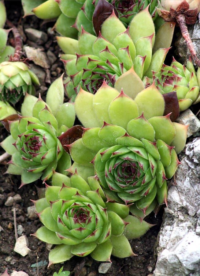 sempervivum houseleek стоковые фото