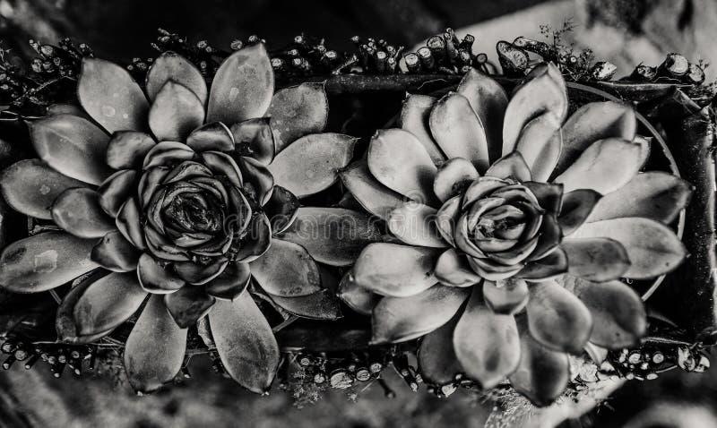 Sempervivum met waterdalingen royalty-vrije stock foto's