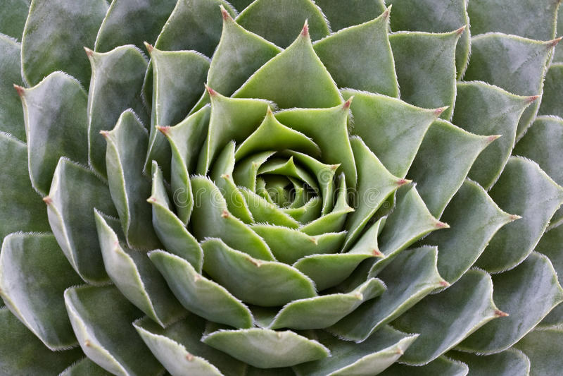 sempervivum succulent στοκ φωτογραφία με δικαίωμα ελεύθερης χρήσης