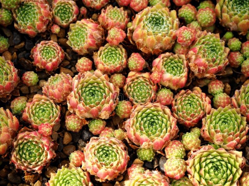 Sempervivum succulent plants in a pot royalty free stock images