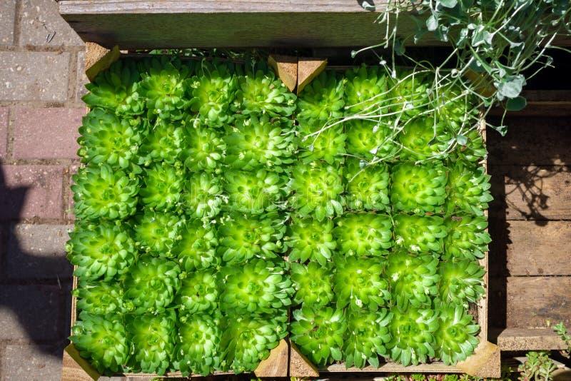 Sempervivum succulente installaties in potten voor verkoop op de vertoning van de tuinmarkt stock fotografie