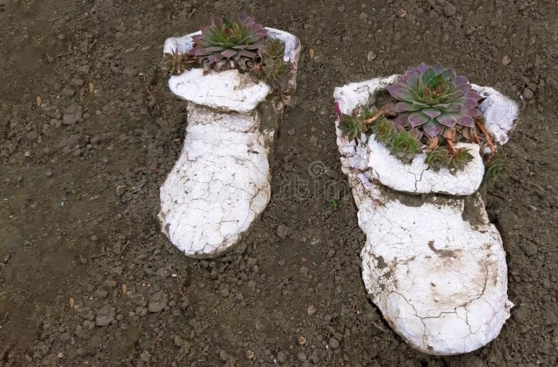 Sempervivum suckulenta v?xter som planteras i en form av skor arkivbilder
