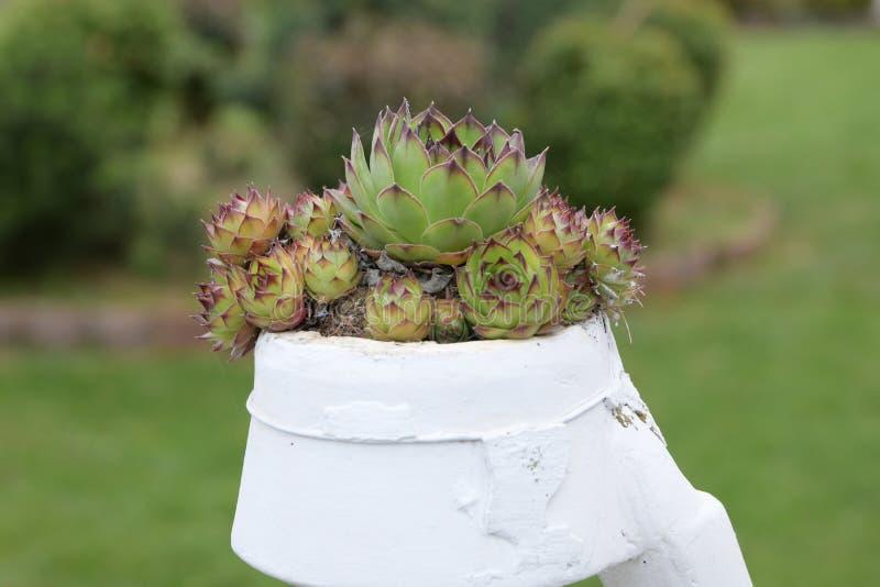 Sempervivum tectorum共同的房子韭葱 多汁植物 关闭看一棵大sempervivum houseleek植物的中心 免版税库存图片