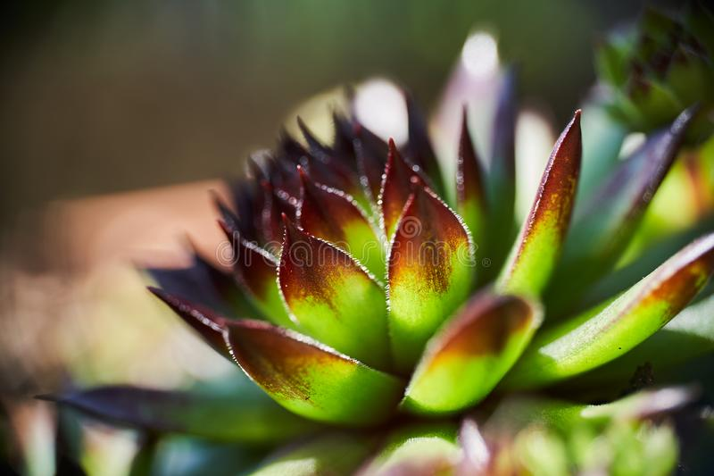 Sempervivum tectorum macro shot under beautiful sun rays royalty free stock photography