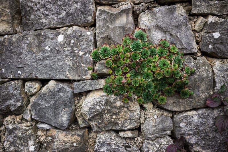 Sempervivum tectorum, Pospolity houseleek zdjęcia royalty free