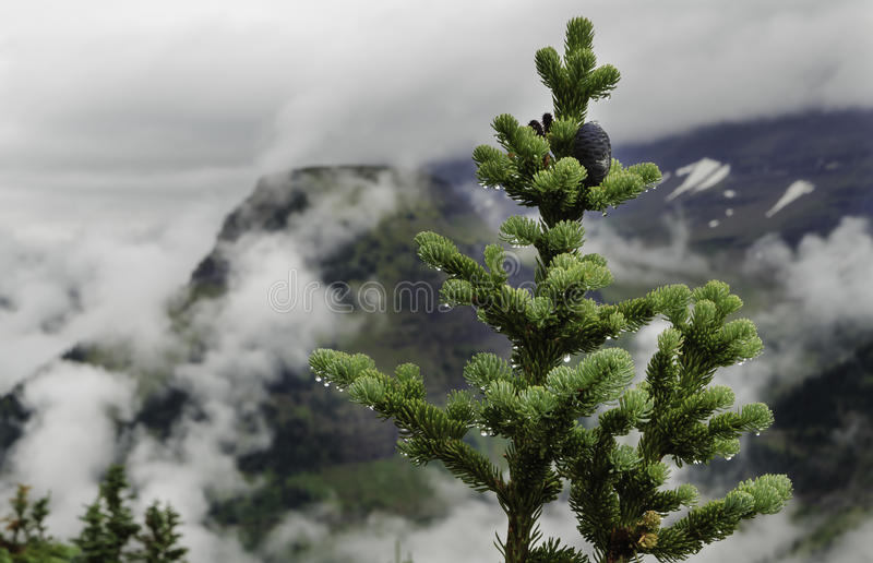 Sempre-verde nevoento fotos de stock
