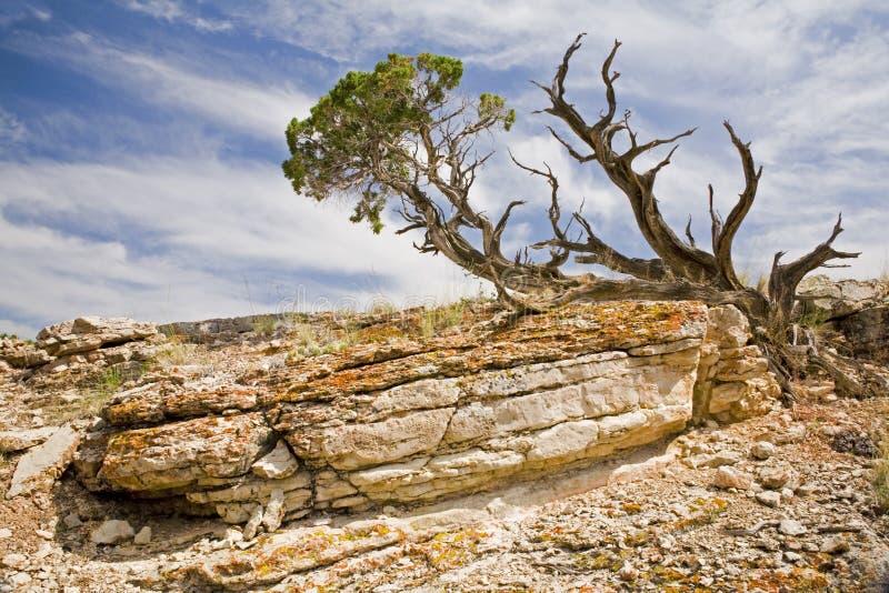 Senão e pedra calcária da árvore do zimbro foto de stock