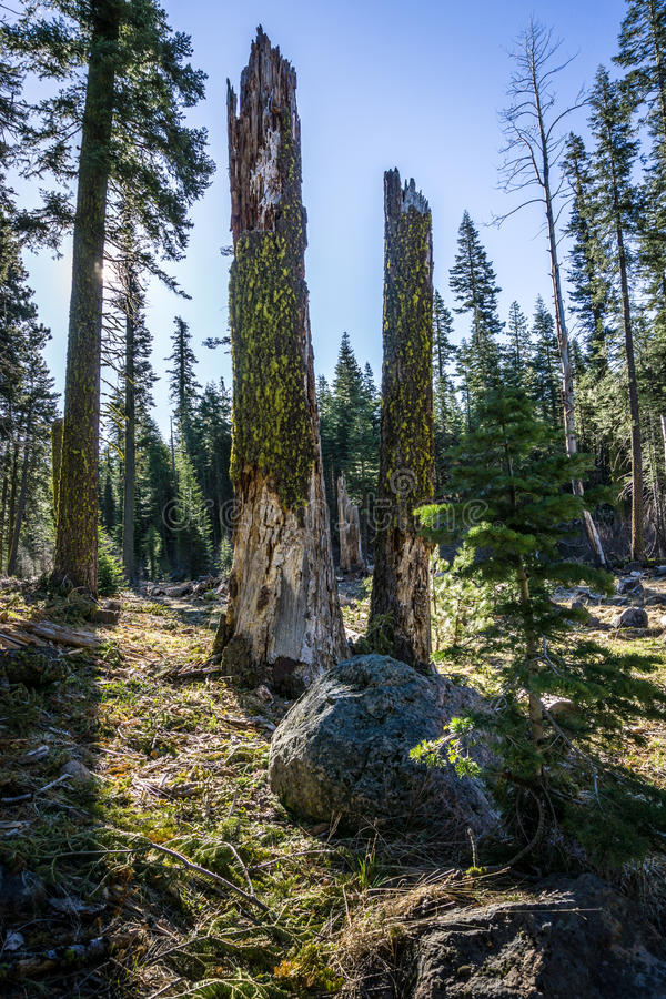 Senões da árvore, parque nacional vulcânico de Lassen fotos de stock