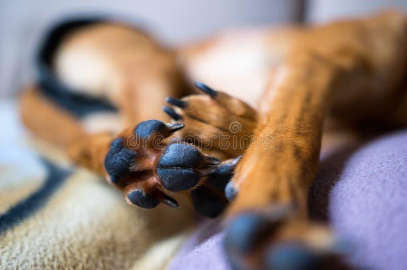 Sen pies zdjęcie stock