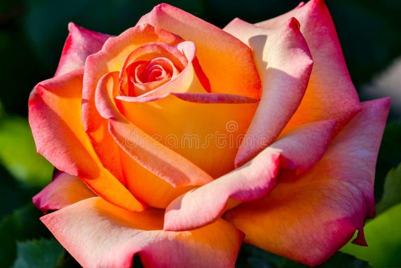 Sen Przychodzący Prawdziwy róża kwiat w świetle słonecznym obrazy stock