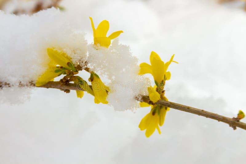 Sen snö på blommande gul forsythia fotografering för bildbyråer