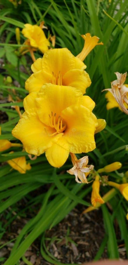 Sen sommar för gul påsklilja arkivfoto
