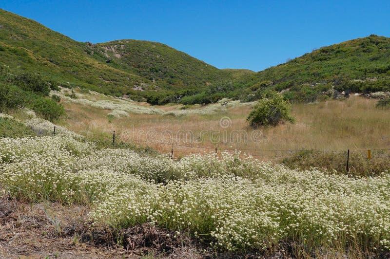 Sena blommande vildblommor i sommar i Cuyamaca berg arkivbild