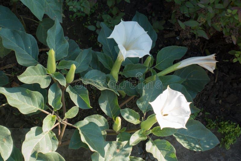 Sena blommor av Daturainnoxiaen arkivbilder