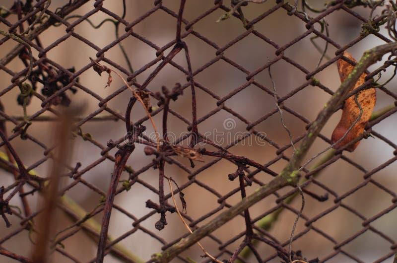 Sena druvor på ett staket royaltyfria bilder