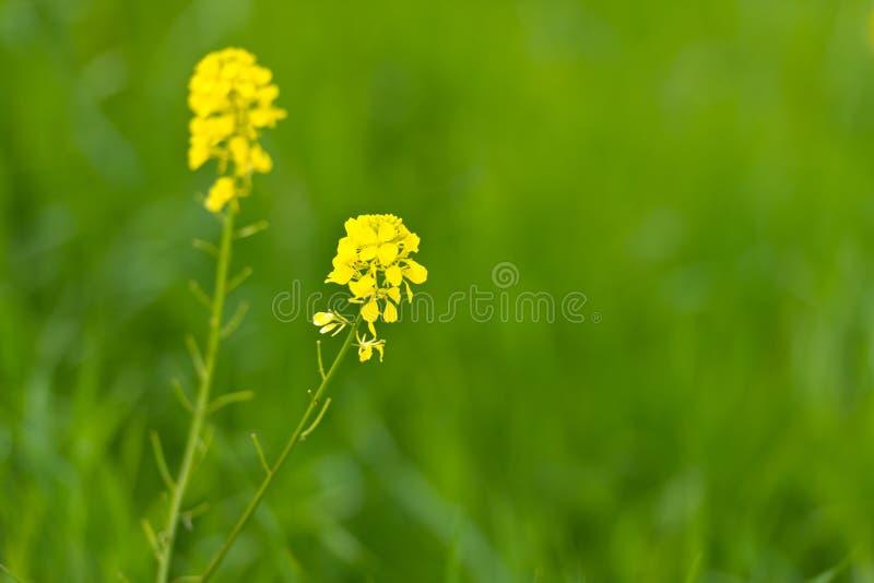 Senape selvaggia in fioritura immagini stock libere da diritti