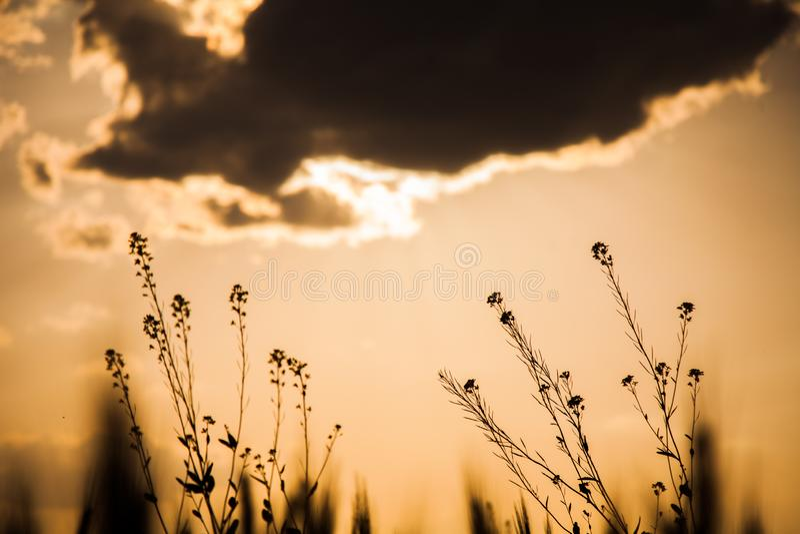 Senapsgula blommor med solnedgång i bakgrund royaltyfri foto