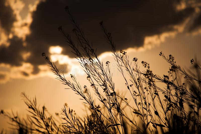 Senapsgula blommor med solnedgång i bakgrund arkivfoto