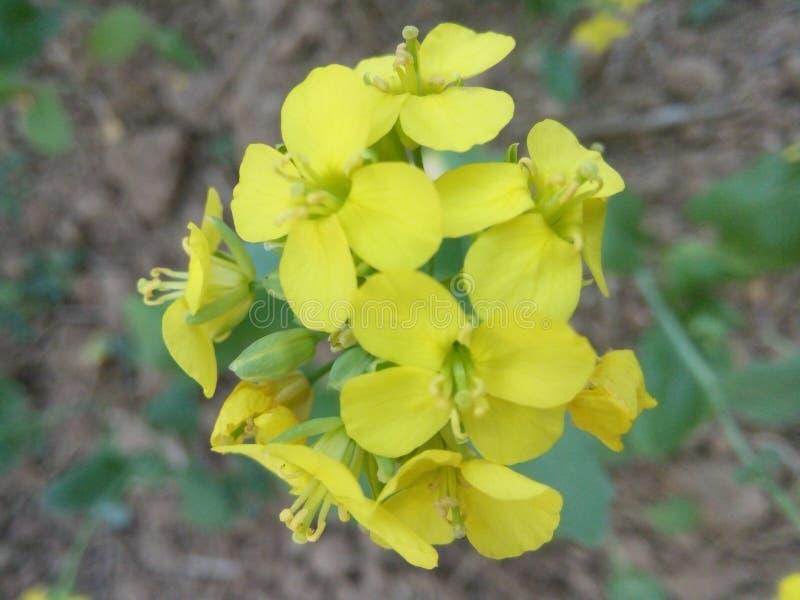 Senapsgult blomma för vinterdag royaltyfri foto