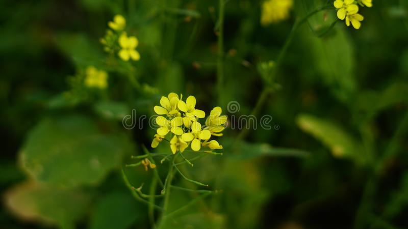 Senapsgult blomma i senapsgult lantbruk royaltyfri fotografi
