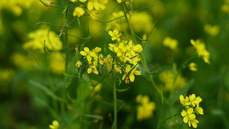 Senapsgult blomma i senapsgult lantbruk royaltyfria bilder