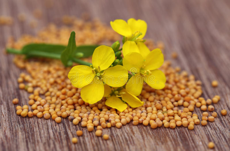 Senapsgult blomma med frö fotografering för bildbyråer