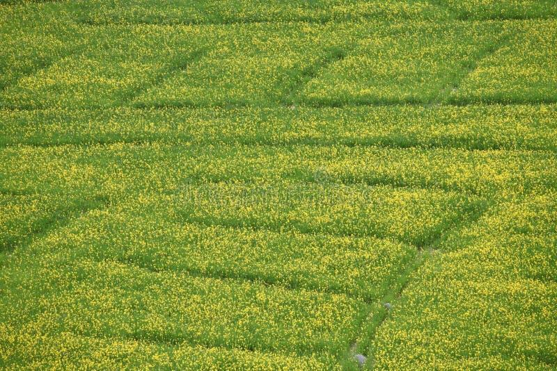 Senapsgult blommafält arkivbild