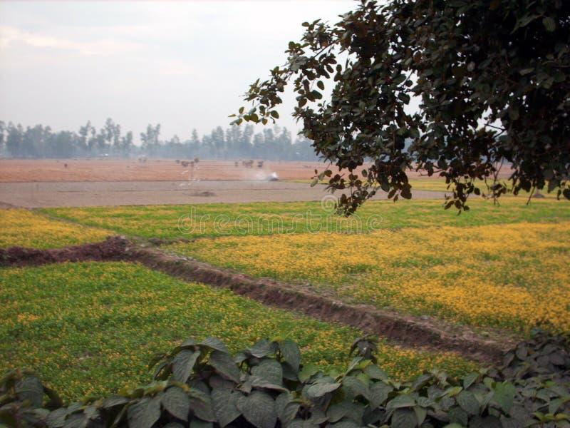 Senapsgult fält, Gaibandha, Bangladesh fotografering för bildbyråer