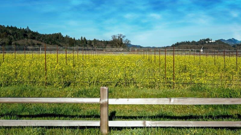 Senapsgult fält i Napaet Valley arkivbilder