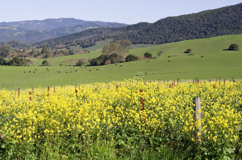senapsgultt Napa Valley fotografering för bildbyråer