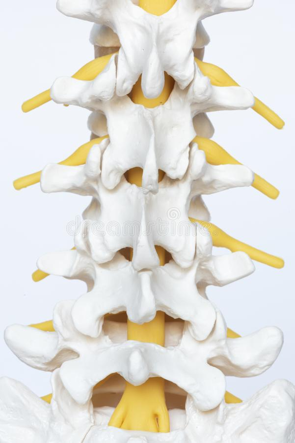Senare sikt av modellen för lumbal rygg arkivfoto