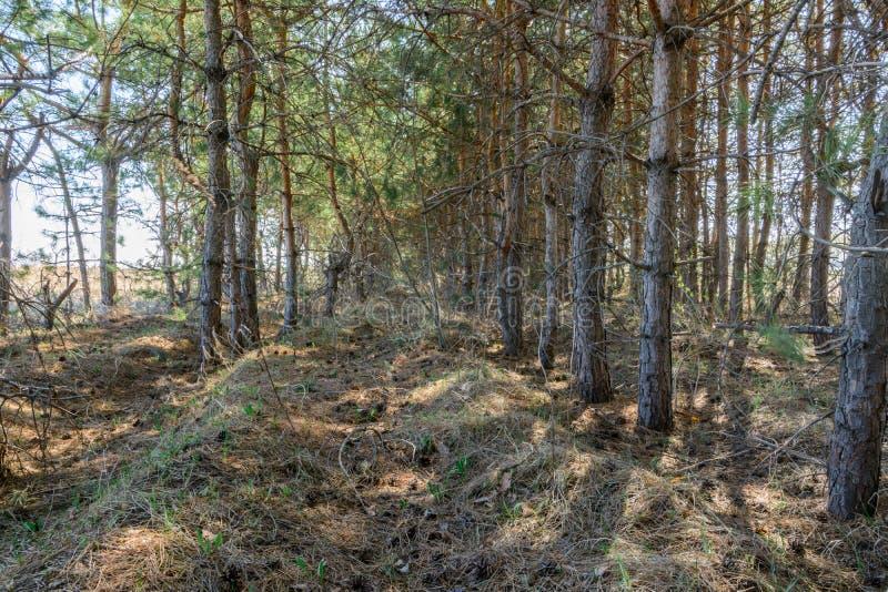 Sendero entre el plantación de árboles Árboles de pino en día soleado de la primavera Paisaje del resorte foto de archivo