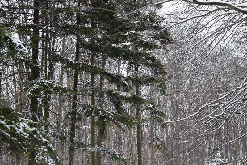 Sendero nevado al lado de abetos nevosos en el bosque del invierno fotografía de archivo