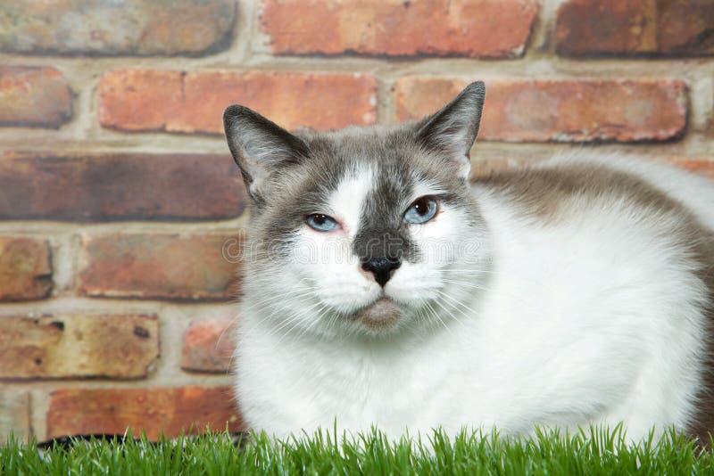 Sendo vesgo o gato malhado que coloca na grama ao lado da parede de tijolo fotografia de stock