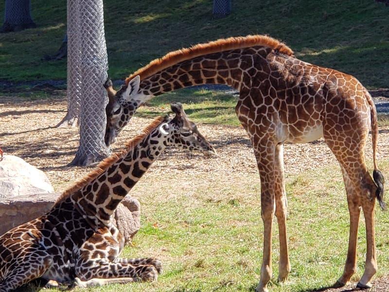 Seneca Giraffes royaltyfria bilder