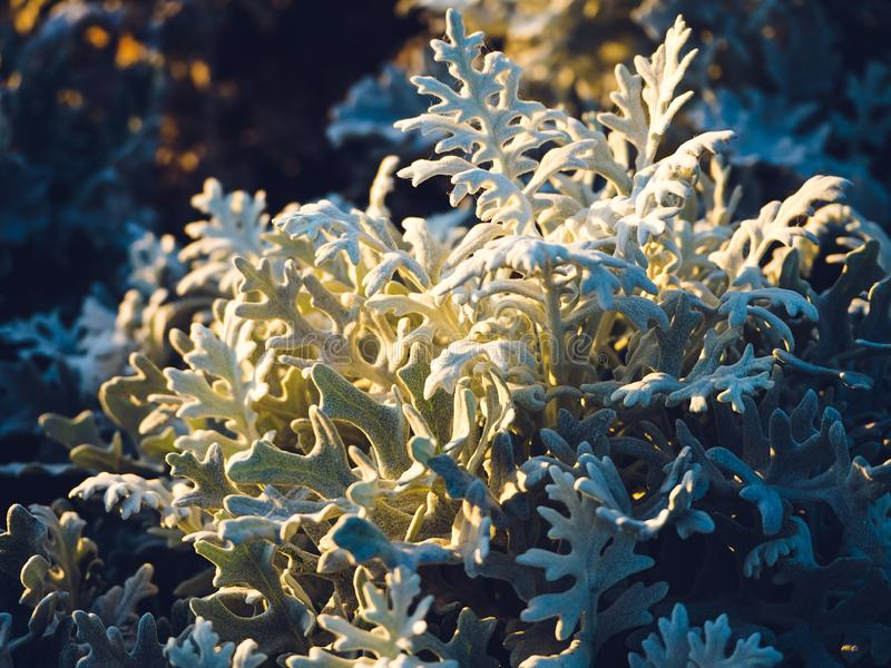 Senecio Cineraria in the park. At sunset royalty free stock photo