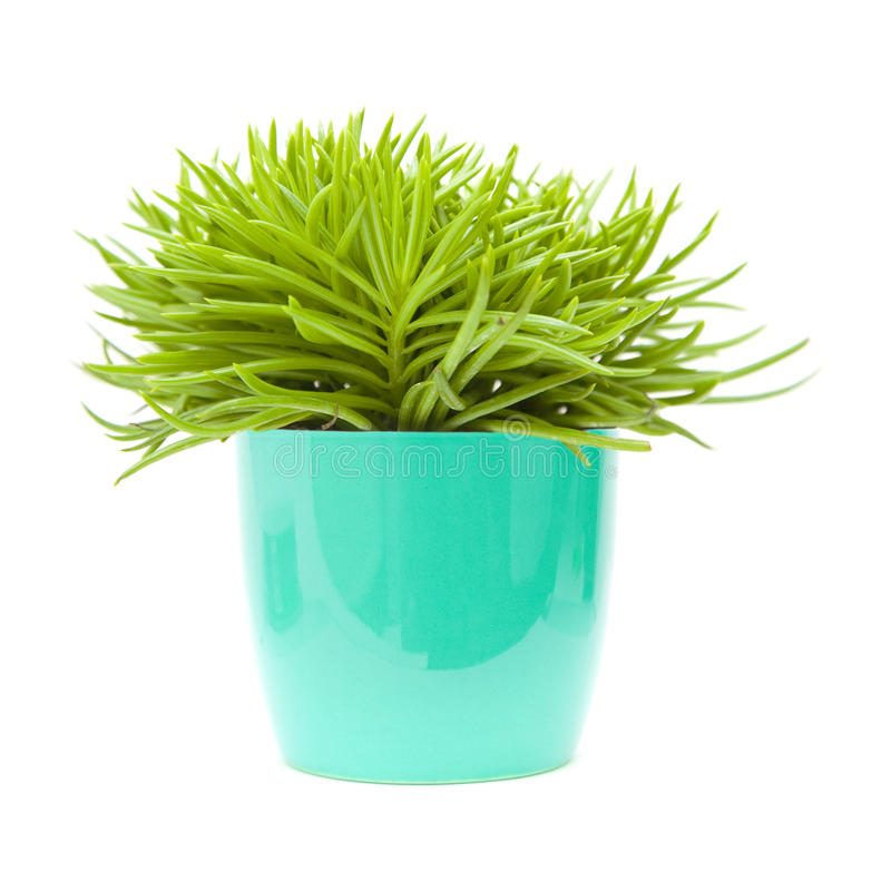 Senecio succulent de buisson photo stock