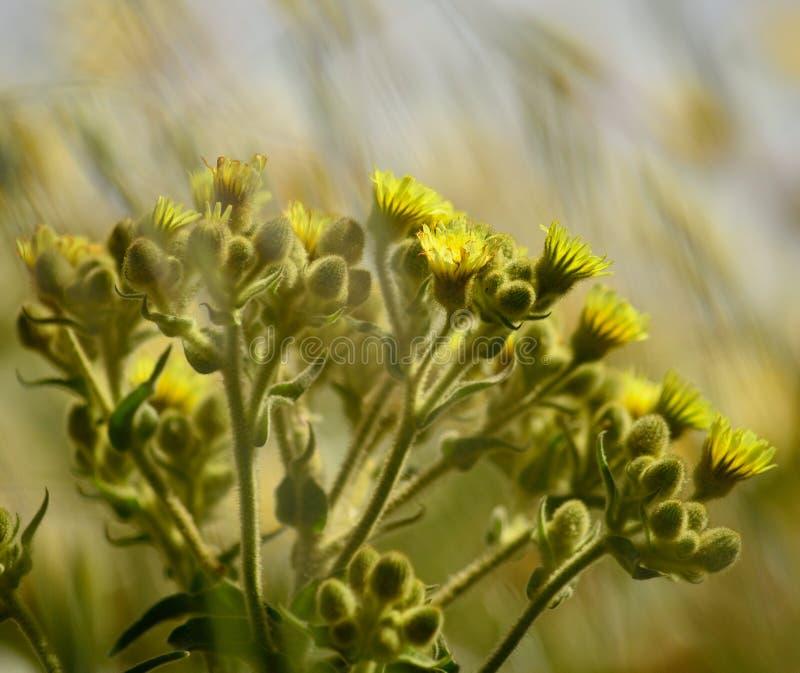 Senecio in voller Blüte lizenzfreies stockfoto