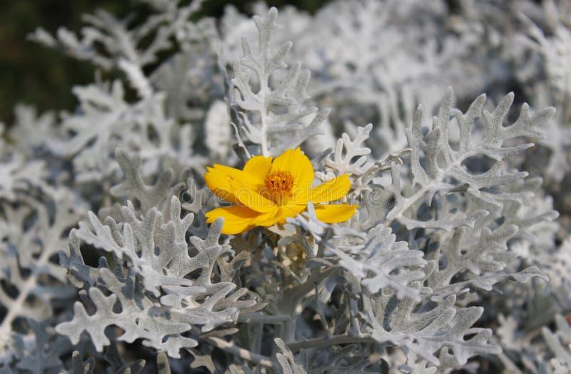 Seneciocineraria royalty-vrije stock foto