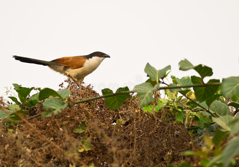 The Senegal Coucal royalty free stock images