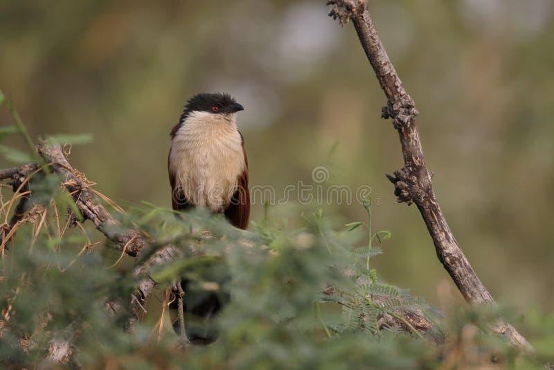 Senegal coucal, Centropus senegalensis stockfoto