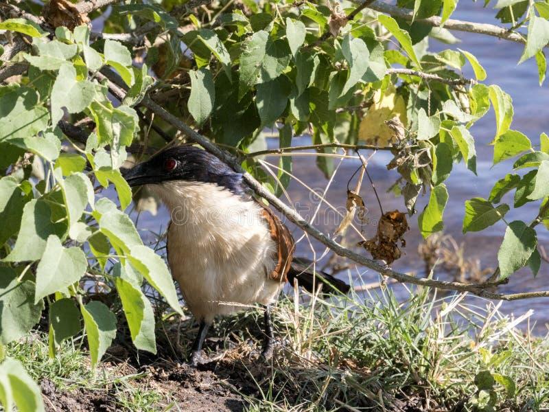 Senegal Coucal, Centropus senegalensis, nach Flusslebensmittel suchend, Nationalpark Chobe, Botswana stockfotos