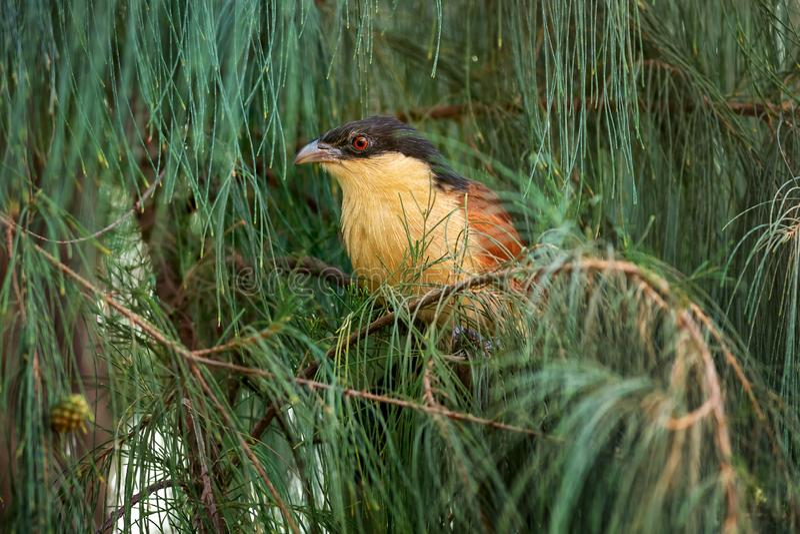 Senegal Coucal - Centropus senegalensis lizenzfreie stockfotos