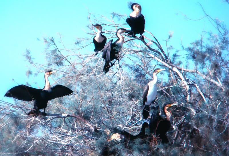 Senegal, Nationalpark Djoudj Gro?e Kormoran Phalacrocorax-Kohlenstoffkolonie lizenzfreie stockbilder