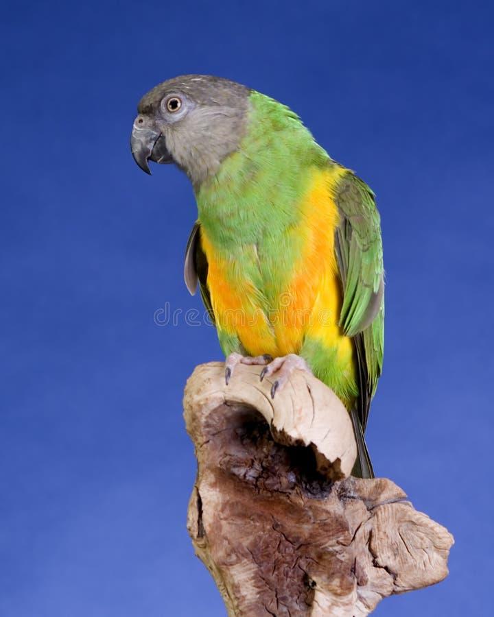 Senegal-Papagei lizenzfreie stockbilder