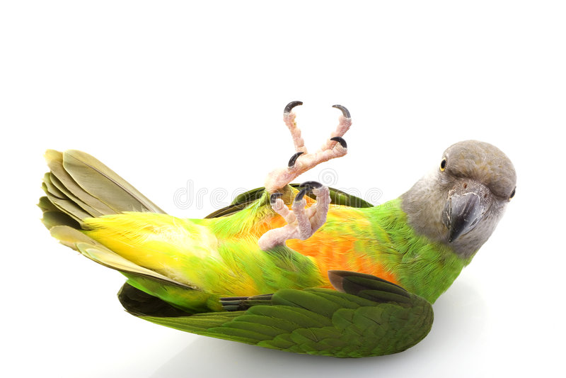 Senegal-Papagei stockfotos