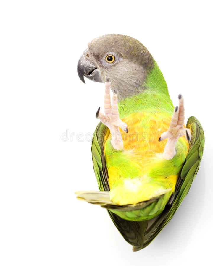 Senegal-Papagei lizenzfreies stockbild
